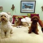 multiple dog households